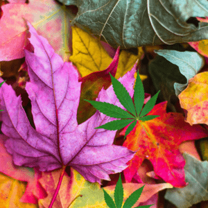 Top 6 Cannabis Strains to Smoke this Fall