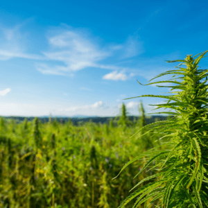 What Are Landrace Marijuana Strains? All You Need to Know