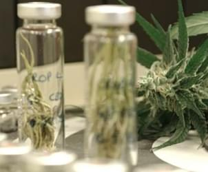 Drug Made From Cannabis Could Treat Schizophrenia
