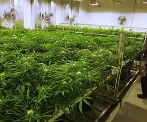 Illinois panel OKs medical marijuana for pain conditions