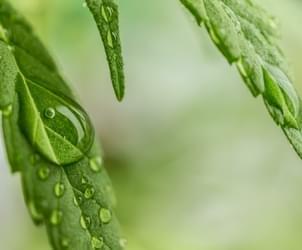 Sonoma DA To Clear Nearly 3,000 Marijuana-Related Convictions