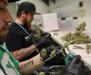 Study: Marijuana has $2.4 billion economic impact on state