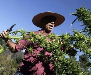 U.S. Says Legal Marijuana Growers Can't Use Federal Irrigation Water