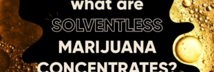 What are Solventless Marijuana Concentrates?