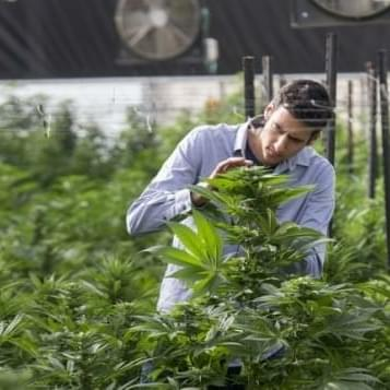 Israel to begin exporting marijuana soon — minister