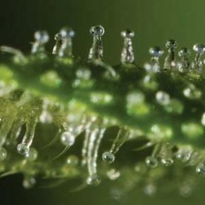 What Are Trichomes and What Do They Do?