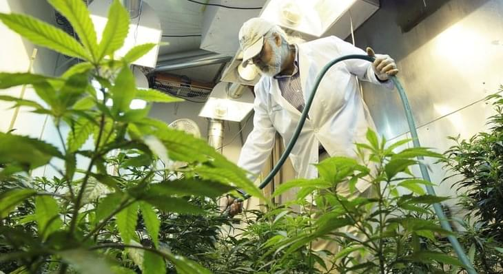 Marijuana industry could be uprooted by pesticide lawsuit