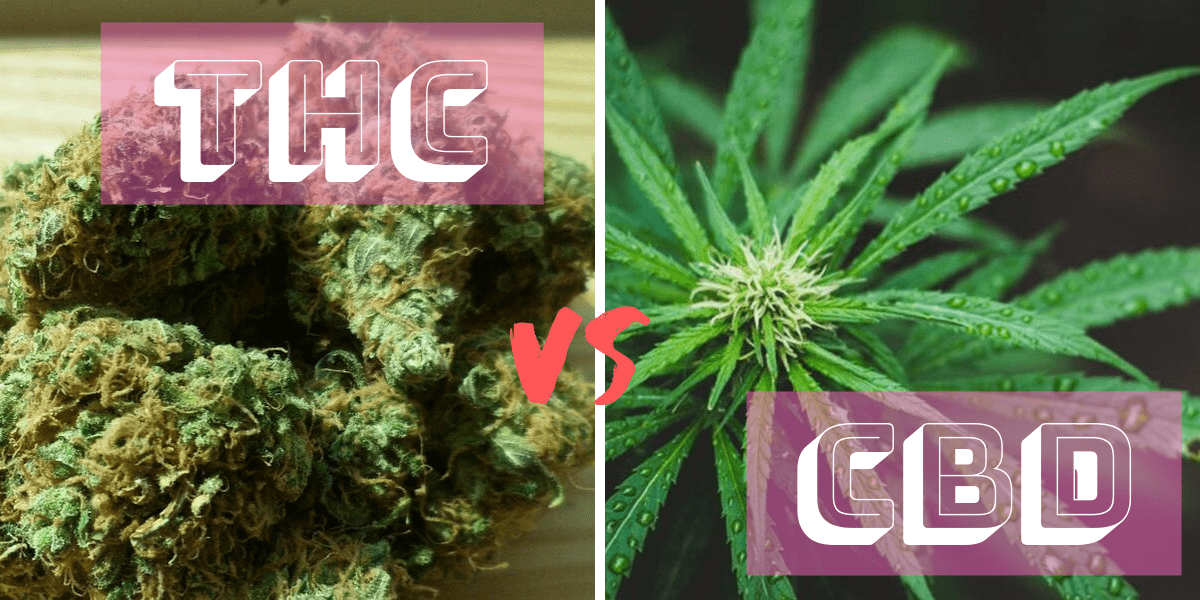 THC and CBD: What is the Difference? 1