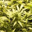 Veterans For Natural Alternative Medicines (VFNAM) Marijuana Dispensary