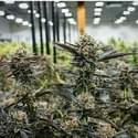 Ganjashop420 Marijuana Dispensary