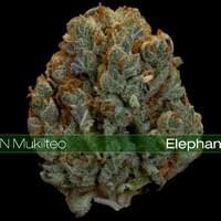 Elephant OG