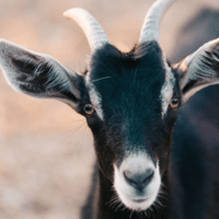 goat IMG_2227.PNG